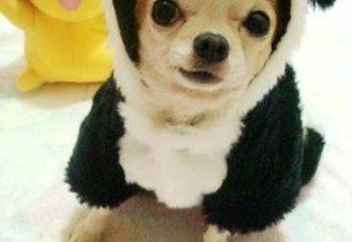 无锡宠物狗专卖店出售吉娃娃