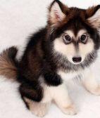 阿拉斯加-武汉名犬