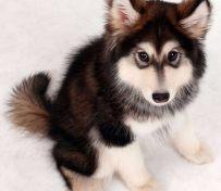 阿拉斯加-名欣犬业