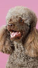 贵宾犬和泰迪哪个好 都是两种比较名贵的狗狗