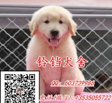 广州哪里有卖金毛犬