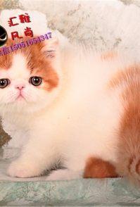 超可爱波斯猫出售 疫苗驱虫已做 保证纯种健康