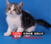 美国短毛猫 纯种美短加白起