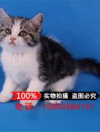 美国短毛猫 纯种美短加白起司猫活体美短折耳幼猫立