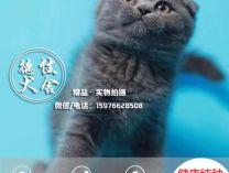 猫舍品种英短蓝猫