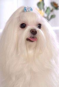 上海哪里有秋田卖 萨摩耶 贵宾柴犬 阿拉斯加 边牧多少钱价格