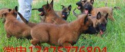 纯马犬幼犬价格图片 三个月的马犬幼犬多少钱一只