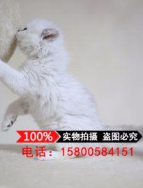 金吉拉 长毛猫 活体幼猫小奶猫纯种家养宠物猫大眼猫
