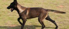 三个月小马犬价格多少,重庆马犬多少钱一只,怎么训练马犬幼崽
