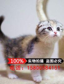 纯种苏格兰折耳猫幼猫 蓝白猫英国短毛猫 英短蓝白