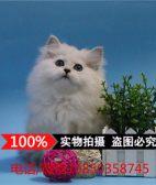 出售金吉拉幼猫长毛猫 纯种家养金吉拉宠物猫 金吉拉