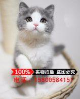 猫舍出售英国短毛猫银渐层活体苏格兰折耳猫纯种家养