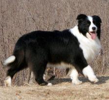 纯种边境牧羊犬品相一流 包健康 全国包邮