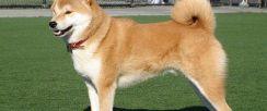 秋田犬出售,包纯包养活