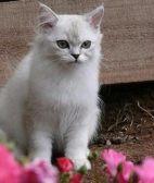 济宁苏格兰折耳 波斯 梵花 渐层 豹猫 加白 起司包纯种健康