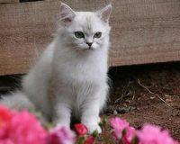 母猫几个月发情 母猫什么时候发情