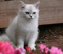 波米拉猫-大连萌猫