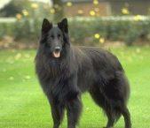 天津哪里有卖比利时牧羊犬