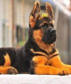 纯种锤系吊嘴吊眼德国牧羊犬哪里出售
