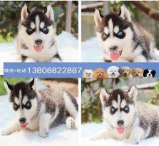 广州哈士奇狗场 广州出售哈士奇 哪里有卖哈士奇小狗