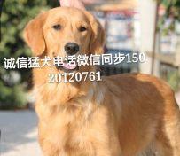 武汉哪里有专业犬舍养殖,纯种