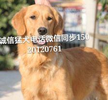 武汉哪里有专业犬舍养殖,纯种健康,可上门选狗全国包运