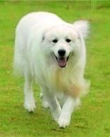 大白熊犬毛色 一般毛色是白色或白色带有灰色