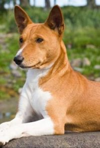 出售纯种赛级法国斗牛犬 保证品质健康 颜色齐全 优姿宠物