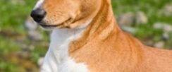 杰克罗素梗傻吗 是世界上比较聪慧的犬类