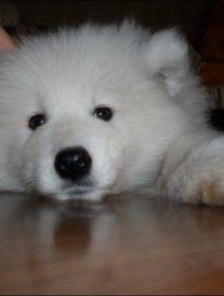 泉州哪里有萨摩犬卖 泉州萨摩犬多少钱