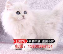 金吉拉幼猫活体纯种金吉拉幼