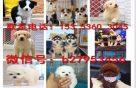犬舍对外售卖阿拉斯加犬 阿拉斯加图片 买阿拉斯加价