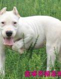 出售杜高幼犬 哪里有卖纯种健康杜高