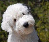 古代英国牧羊犬护理 每天要给它梳理被毛