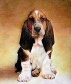 巴吉度-武汉名犬