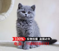 蓝猫纯种 英国短毛猫活体宠物