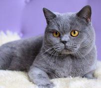 石家庄英短蓝猫 渐层 蓝白