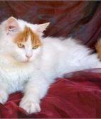 保定苏格兰折耳 波斯 梵花 渐层 豹猫 加白 起司包纯种健康
