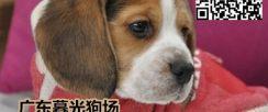 广州正规狗场繁殖 纯种 高端品质 比格犬出售 签售
