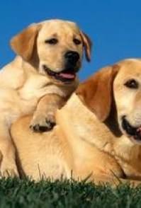 合肥哪有拉布拉多犬出售