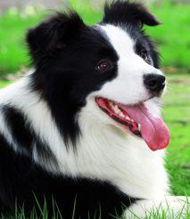 武汉边境牧羊犬领养
