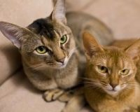 巴厘猫能吃生肉吗 吃生肉容易生虫