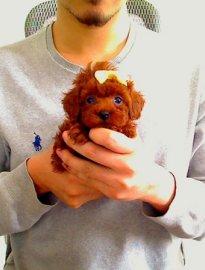 出售纯种茶杯玩具泰迪犬 品相好 颜色齐 包售后 包健康