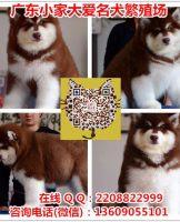 广州卖阿拉斯加犬