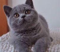 CFA猫舍繁殖精品短毛猫英短
