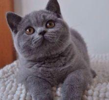 CFA猫舍繁殖精品短毛猫英短 美短多只在售签签协