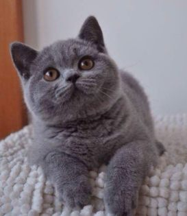 佛山纯种蓝猫价格佛山哪里有卖宠物猫嘉恩猫舍做好疫苗可上门