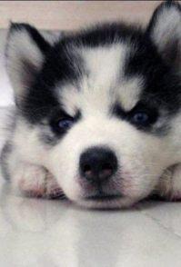 哈士奇幼犬吃什么 哈士奇幼犬的饮食管理