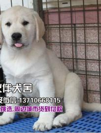东莞那里有卖拉布拉多犬东莞市区拉布拉多犬多少钱