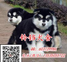 巨型熊版阿拉斯加犬 黑白色红白色灰白色都有